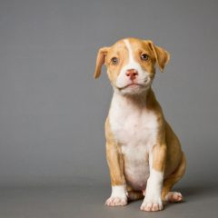 Where to Begin With Pitbull Breeding
