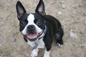 6359296760565335581045924475 boston-terrier5