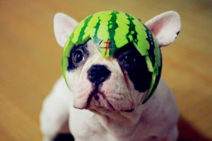 Cute dog wearing a watermelon rind hat (01)