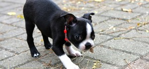 boston-terrier-dog-facts-characteristics