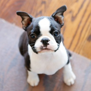 winnie-boston-terrier-puppy-widget-12-weeks-01