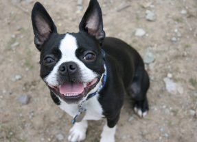 Cutest Boston Terriers Ever!