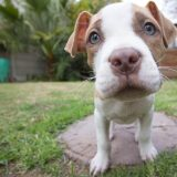 How to Prepare For a New Pitbull Puppy