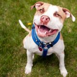 Why You Shouldn't Overlook Adopting a Pitbull